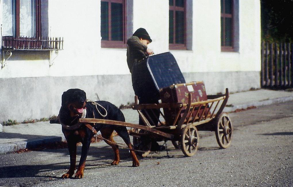 Zughund beim entladen